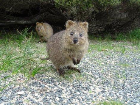 Quokka: conheça o animal mais feliz do mundo - Meus Animais