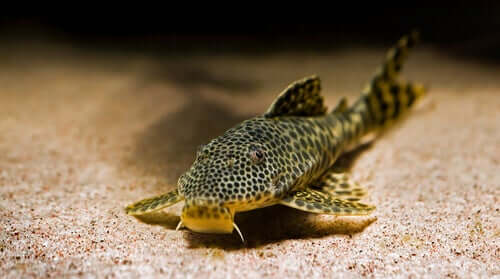 Características do peixe bagre