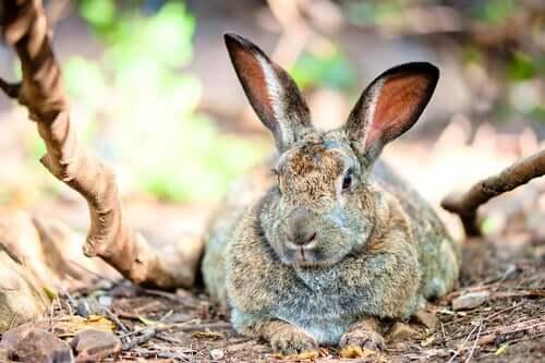O que causa a obesidade em coelhos?