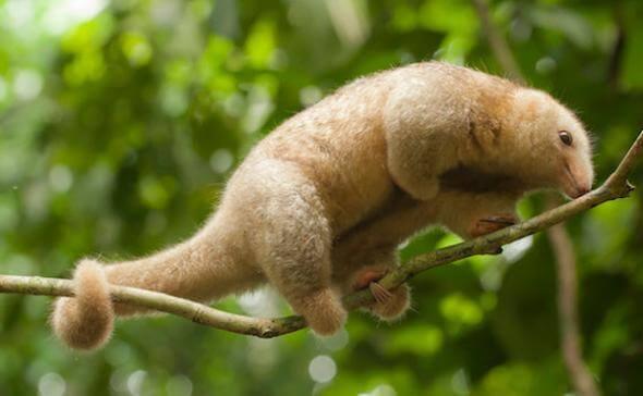 As sete espécies de tamanduaí
