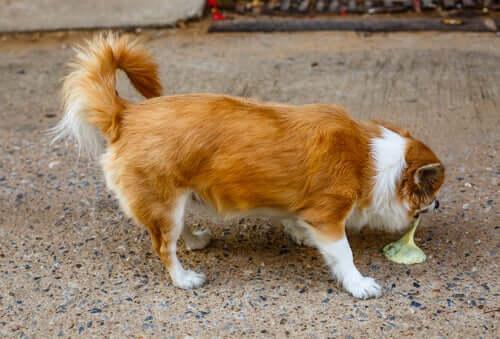 Causas do vômito em filhotes de cães
