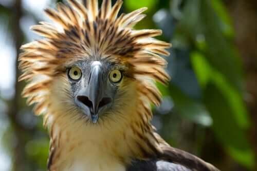 Águia-das-filipinas, um gigante quase extinto