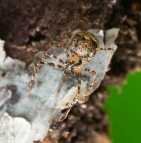 Aranha que caça outras aranhas