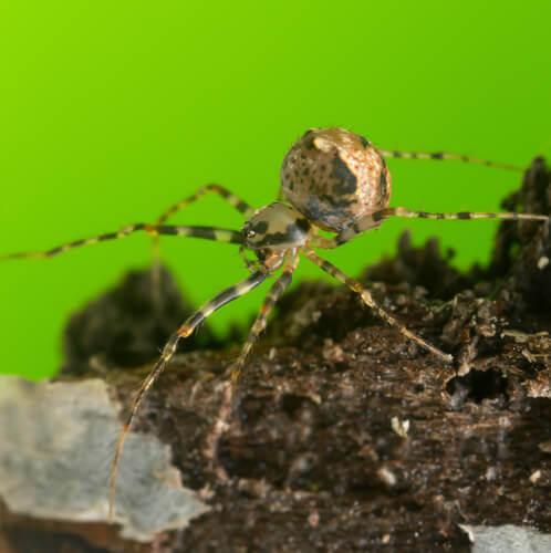 Aranhas-pirata: sobreviver caçando outras aranhas