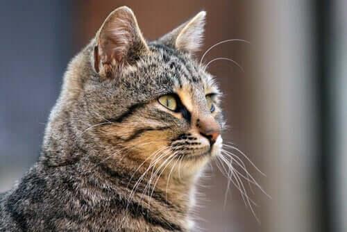 Para que serve o bigode do gato?