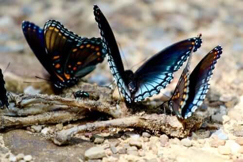 Existem borboletas carnívoras?