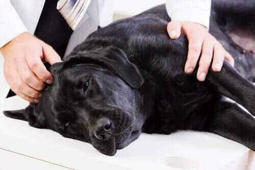 Cachorro doente no veterinário