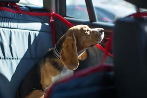 Cachorro fechado no carro