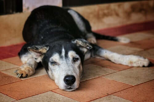 Cachorro idoso doente