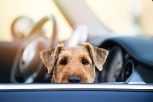 Cachorro sozinho em carro