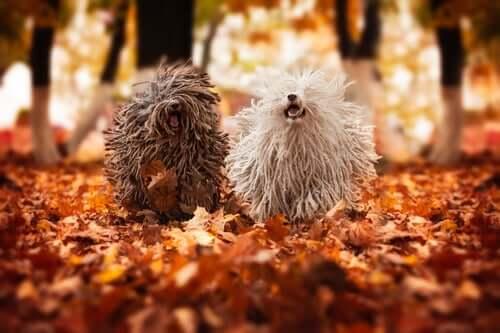 Cães puli correndo em floresta no outono