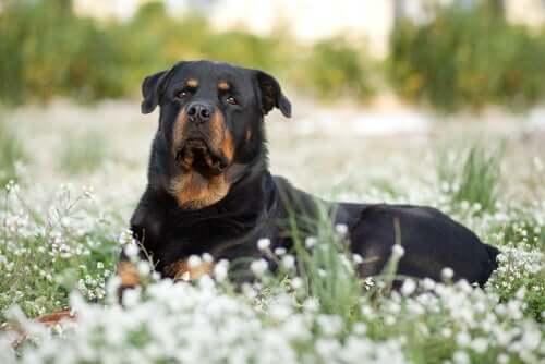 Características mais comuns dos cães de raças grandes