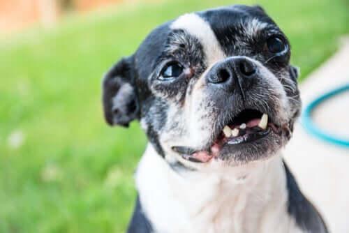 Por que os cães adultos perdem os dentes?