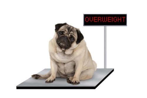 Cão acima do peso