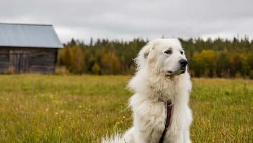 Cachorro em casa de campo