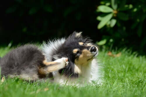 Por que meu cachorro se coça? 3 razões científicas