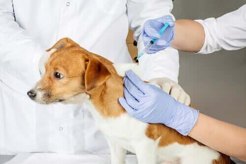 Cachorro tomando vacina