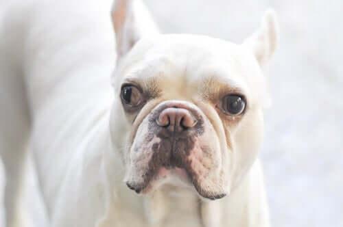 Causas do estrabismo em cães