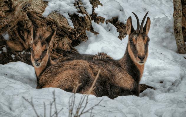 Camurça, a cabra dos Pireneus