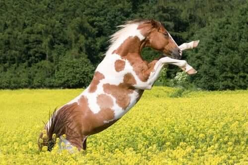 Cavalo malhado no campo