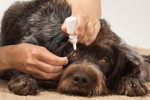 Infecções oculares em cães