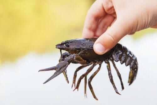 Características morfológicas e taxonomia do lagostim