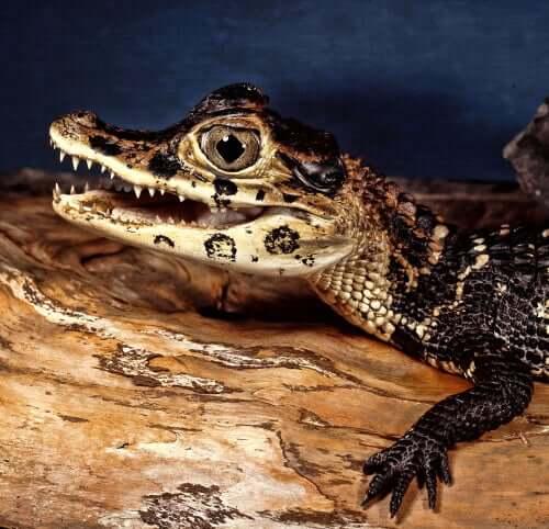 Vírus que afetam os crocodilos