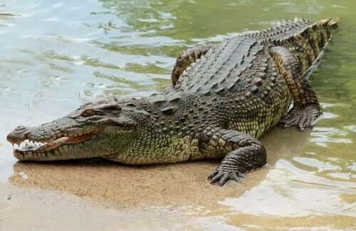 Crocodilo na beira da água
