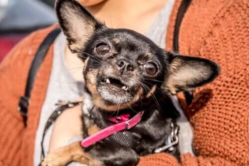 Alguns dos fatores que aumentam a perda de dentes em cães