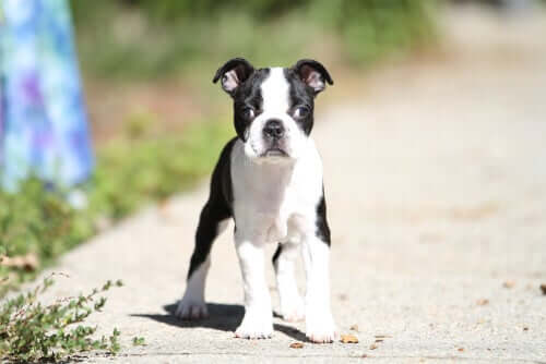 Estrabismo em cães: causas e tratamentos