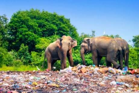 Elefantes em local cheio de lixo