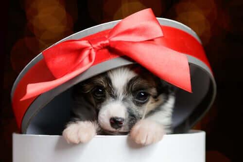 Filhote de cachorro como presente