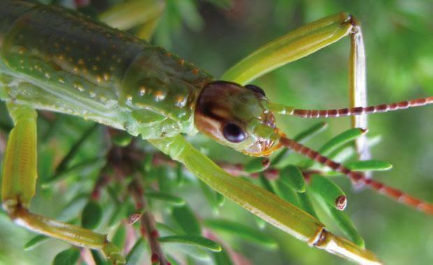 Lagosta-das-árvores: o inseto mais estranho do mundo