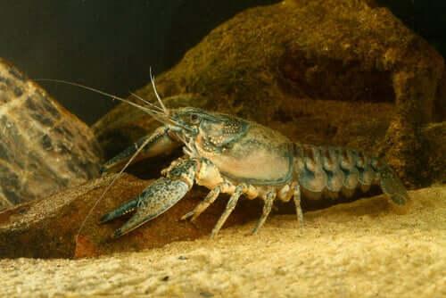 O lagostim