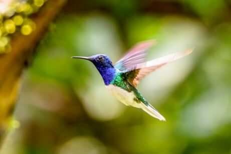 A migração do beija-flor
