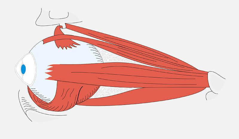 Os músculos do globo ocular