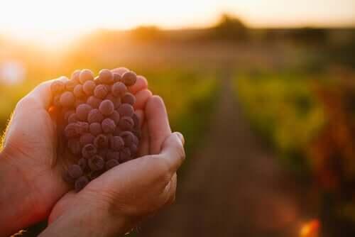 Bagaço de uva para alimentar o gado