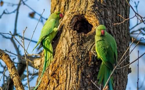 Cuidados e características do periquito-de-colar