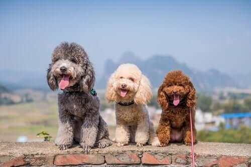 Poodles de várias cores