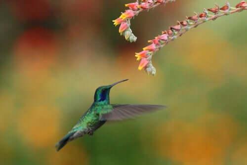 Processo de polinização e migração do beija-flor
