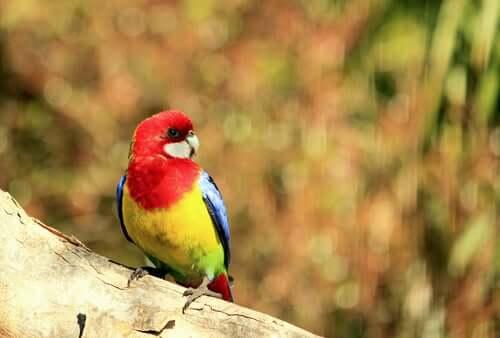 Rosela-multicolorida na natureza