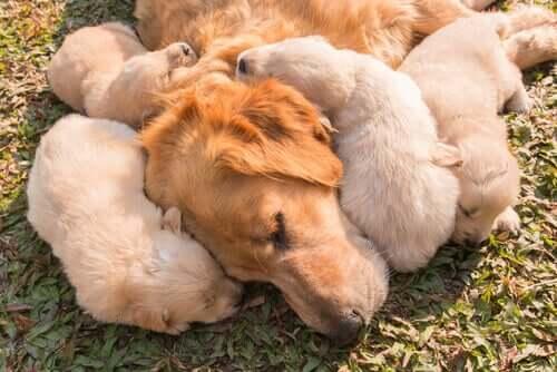Como funciona o sistema imunológico dos cães?