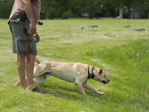 Dono treinando labrador