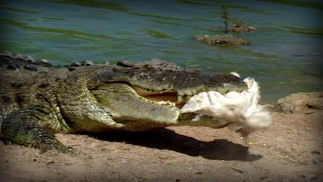 Crocodilo pegando comida