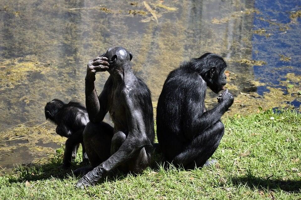 Bonobo, um grande macaco com uma voz 'minúscula'