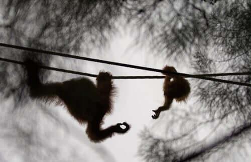Fêmea de orangotango albina é libertada