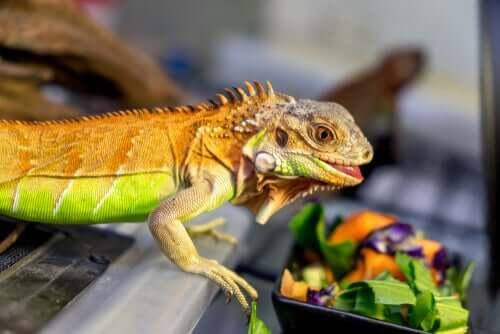 Alimentação da iguana