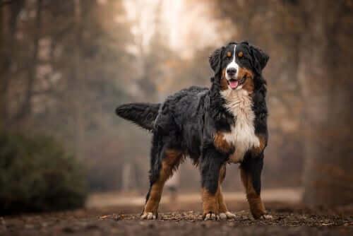 Cães que resistem melhor ao frio: boiadeiro de Berna