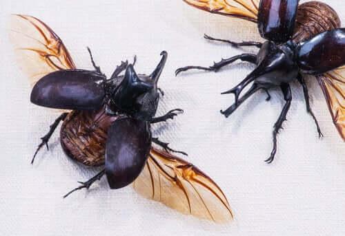 Besouros com as asas abertas
