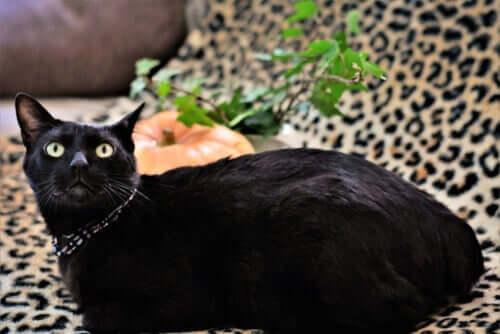 Bobtail japonês, o gato da sorte